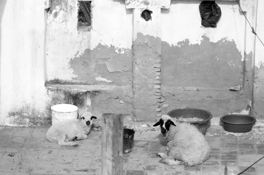 Magic Marocco: Sheep on the Roof